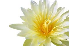 Gele waterlelie Royalty-vrije Stock Foto's