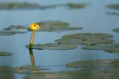 Gele Waterlelie royalty-vrije stock foto