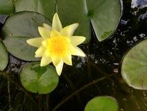 Gele waterlelie in een rivier Royalty-vrije Stock Afbeeldingen