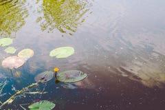 Gele waterlelie en groene bladeren op het water stock fotografie