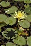 Gele waterlelie en zijn schaduw Royalty-vrije Stock Fotografie