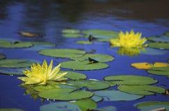 Gele waterlelies in het Park van Balboa, San Diego Royalty-vrije Stock Afbeeldingen