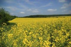 Gele weide Stock Foto's
