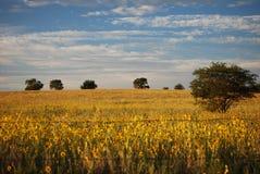 Gele weide Stock Afbeeldingen