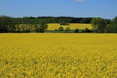 Gele weide in de zomer Stock Foto's