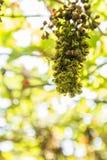 Gele wespen die druiven eten Stock Foto's