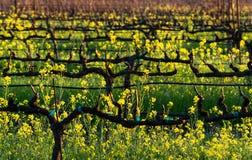 Gele Wijngaardrijen met Mosterd stock foto