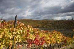 Gele wijnstokken Stock Fotografie
