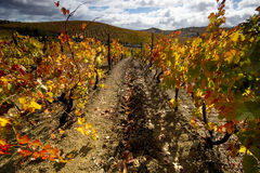 Gele wijnstokken royalty-vrije stock foto
