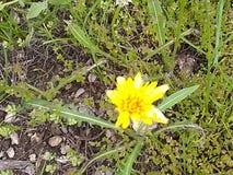 Gele wilde bloem dichte omhoog a royalty-vrije stock afbeelding