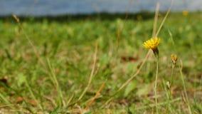 Gele wilde bloem op de kust van het meer stock video