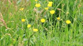 Gele wilde bloemboterbloem en grassen stock footage