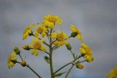 Gele wilde bloemen Stock Afbeeldingen