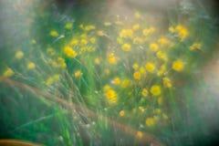 Gele wilde bloemen in de zomerregen royalty-vrije stock fotografie