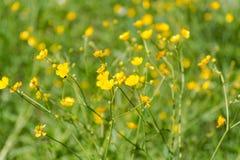 Gele wilde bloemen Het tot bloei komen van een gele bloem Royalty-vrije Stock Foto's