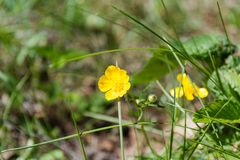 Gele wilde bloemen Het tot bloei komen van een gele bloem Stock Foto's