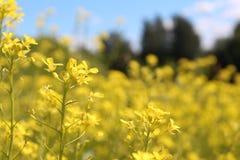 Gele wilde bloemen Macro Royalty-vrije Stock Foto's