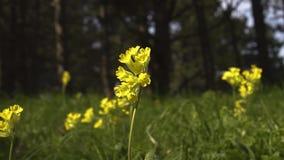 Gele wilde bloemen op een achtergrond van bos in de wind stock video