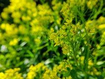 Gele wilde bloemen op het groene zonnige gebied van de de zomeraard royalty-vrije stock afbeelding