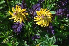 Gele wilde bloemen in sub Alpiene streek op MT Regenachtiger, Washington State de V.S. stock fotografie