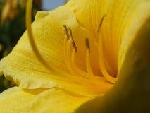 Gele wilde tulp stock afbeelding