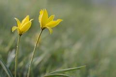 Gele wilde tulpen in de weide royalty-vrije stock afbeelding