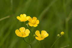 Gele Wildflower Royalty-vrije Stock Afbeeldingen