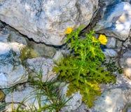 Gele Wildflower in de Rotsen Stock Foto