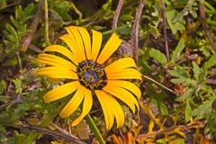 Gele wildflower met prominente meeldraad stock foto