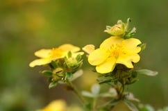 Gele wildflower op gebied Stock Foto's