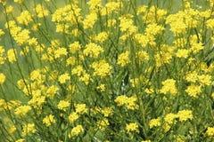 Gele wildflowers Royalty-vrije Stock Foto's