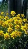 Gele wildflowers Royalty-vrije Stock Afbeeldingen
