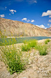 Gele Wildflowers bij Bulunkul Meer, Tajikistan Royalty-vrije Stock Afbeeldingen