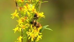 Gele wildflowers en bijen stock videobeelden