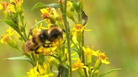 Gele wildflowers en bijen stock footage