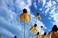 Gele wildflowers met hemelachtergrond Stock Afbeeldingen