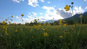 Gele wildflowers op de weide stock videobeelden