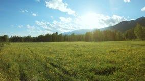 Gele wildflowers op de weide in zonnige dag stock footage
