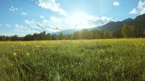 Gele wildflowers op de weide in zonnige dag stock videobeelden