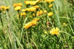 Gele wildflowers royalty-vrije stock afbeelding