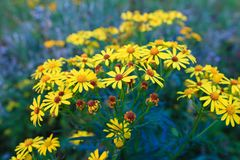 Gele wildflowers op het gazon royalty-vrije stock afbeelding