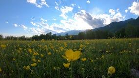 Gele wildflowers op het gebied stock footage