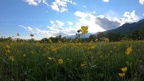 Gele wildflowers op het gebied stock videobeelden