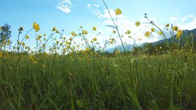 Gele wildflowers op het gebied stock video