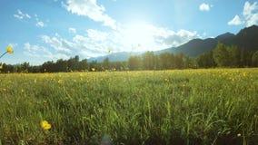 Gele wildflowers op het gebied in zonnige dag stock videobeelden