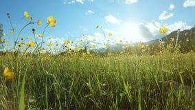 Gele wildflowers op het gebied in zonnige dag stock footage