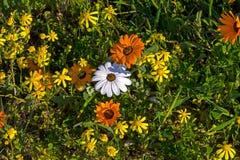 Gele, Witte en Oranje Wildflowers stock afbeeldingen
