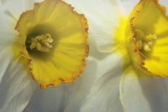 Gele Witte Gele narcis royalty-vrije stock afbeeldingen