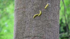 Gele worm op boom stock video