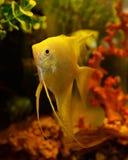 Gele zeeëngel stock afbeelding